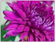 Chrysanthemum...
