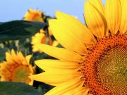 Sunflower, Clantonia,