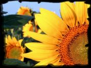 Sunflower, Clantonia!!,